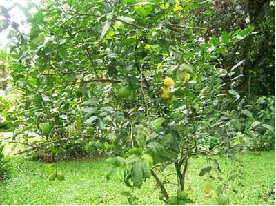 Lemon_tree_2.jpg