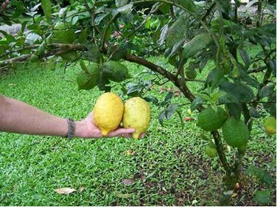 Lemon_tree_3.jpg