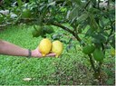 Lemon_tree_3.jpg