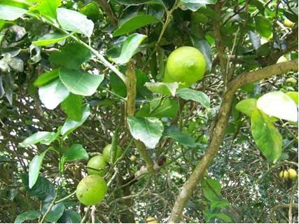 lemon_tree_1.jpg
