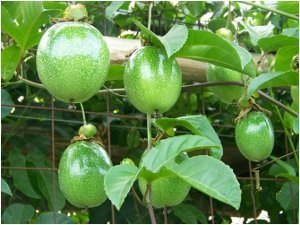 passion_fruit_300x225.jpg
